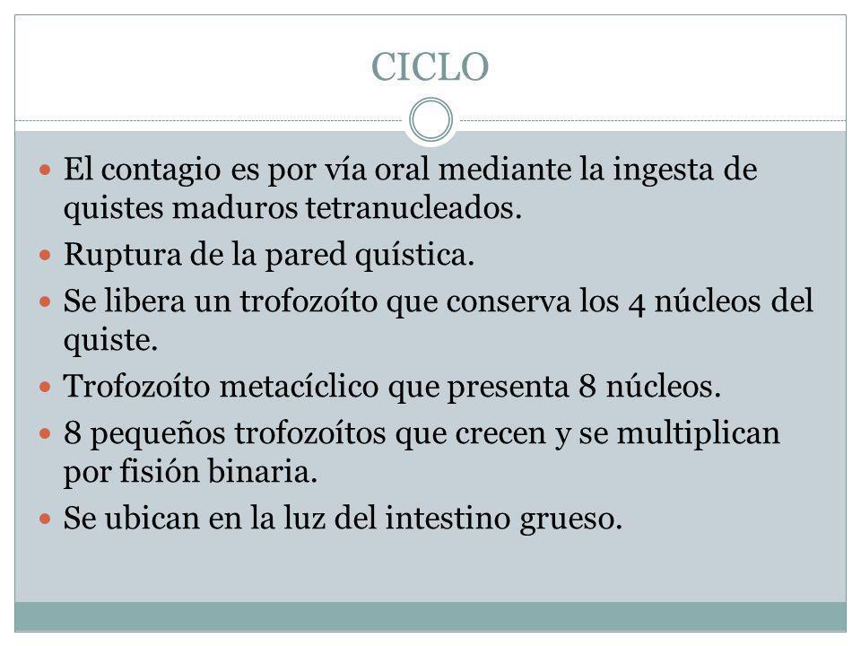 CICLO El contagio es por vía oral mediante la ingesta de quistes maduros tetranucleados. Ruptura de la pared quística.