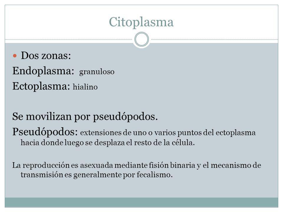 Citoplasma Dos zonas: Endoplasma: granuloso Ectoplasma: hialino