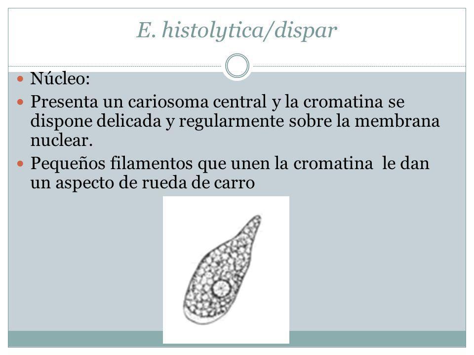 E. histolytica/dispar Núcleo: