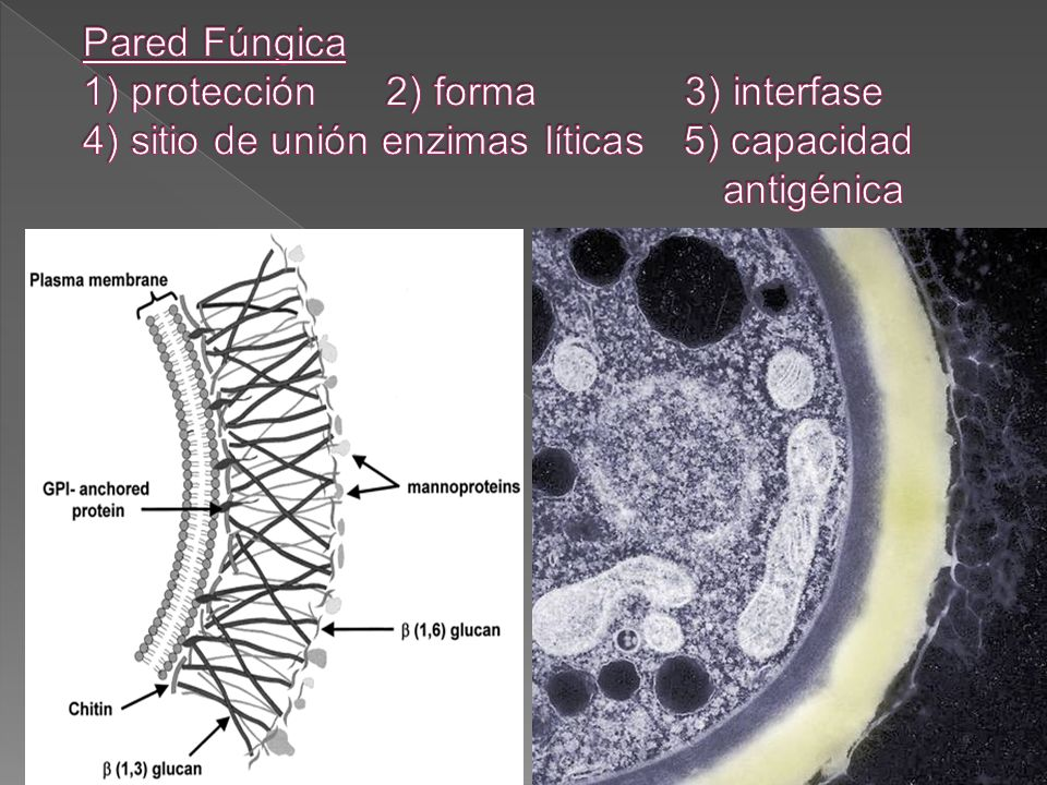 Pared Fúngica 1) protección 2) forma 3) interfase 4) sitio de unión enzimas líticas 5) capacidad antigénica