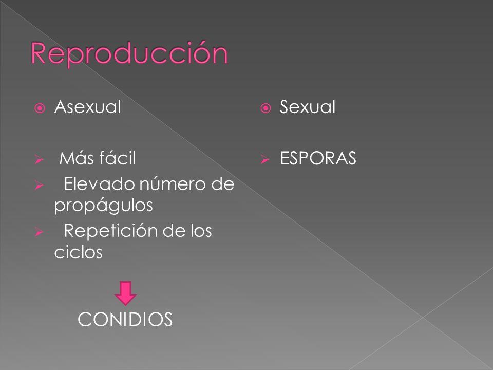 Reproducción CONIDIOS Asexual Más fácil Elevado número de propágulos