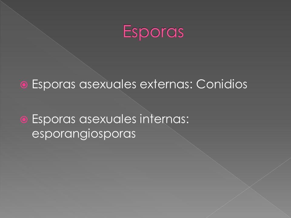 Esporas Esporas asexuales externas: Conidios