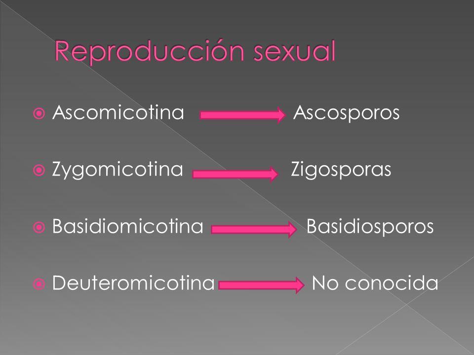 Reproducción sexual Ascomicotina Ascosporos Zygomicotina Zigosporas