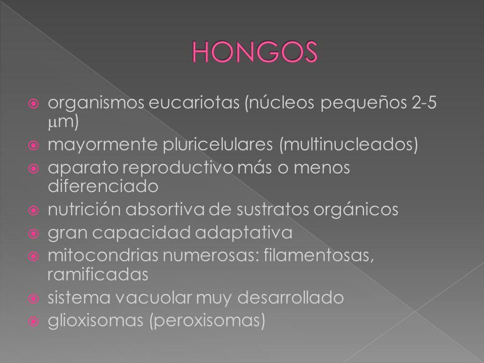 HONGOS organismos eucariotas (núcleos pequeños 2-5 m)