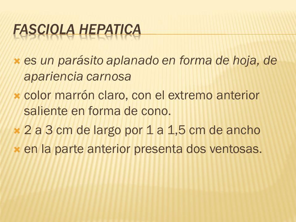 Fasciola hepaticaes un parásito aplanado en forma de hoja, de apariencia carnosa.