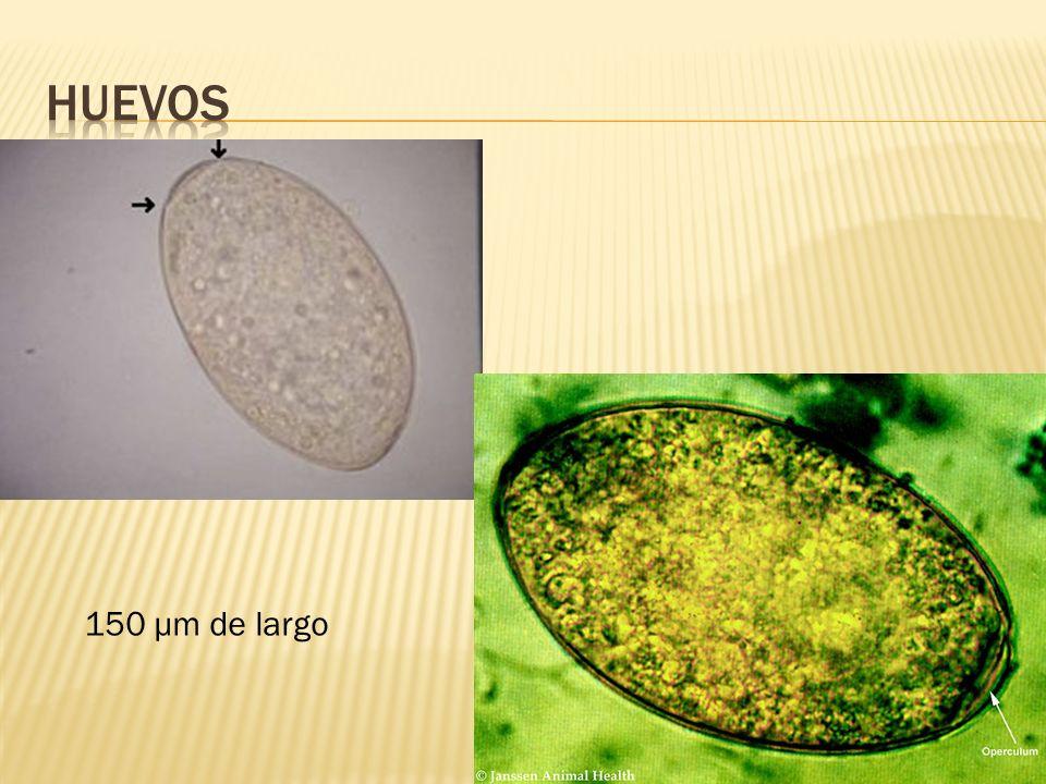 Huevos 150 μm de largo