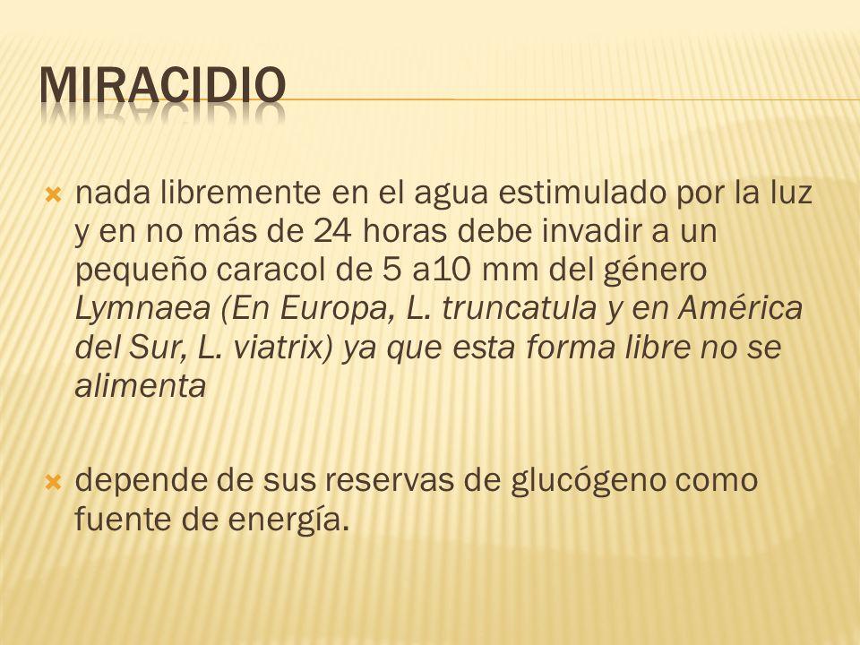 Miracidio