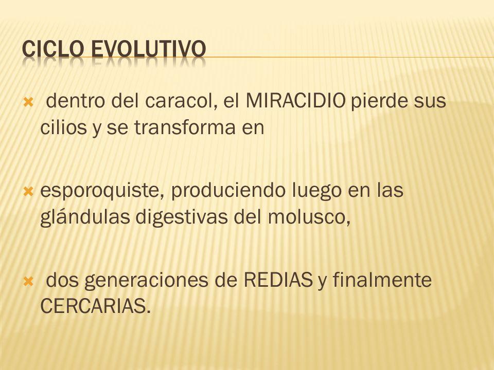 Ciclo evolutivodentro del caracol, el MIRACIDIO pierde sus cilios y se transforma en.