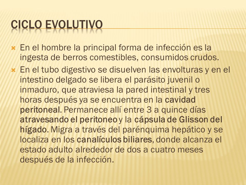 Ciclo evolutivo En el hombre la principal forma de infección es la ingesta de berros comestibles, consumidos crudos.