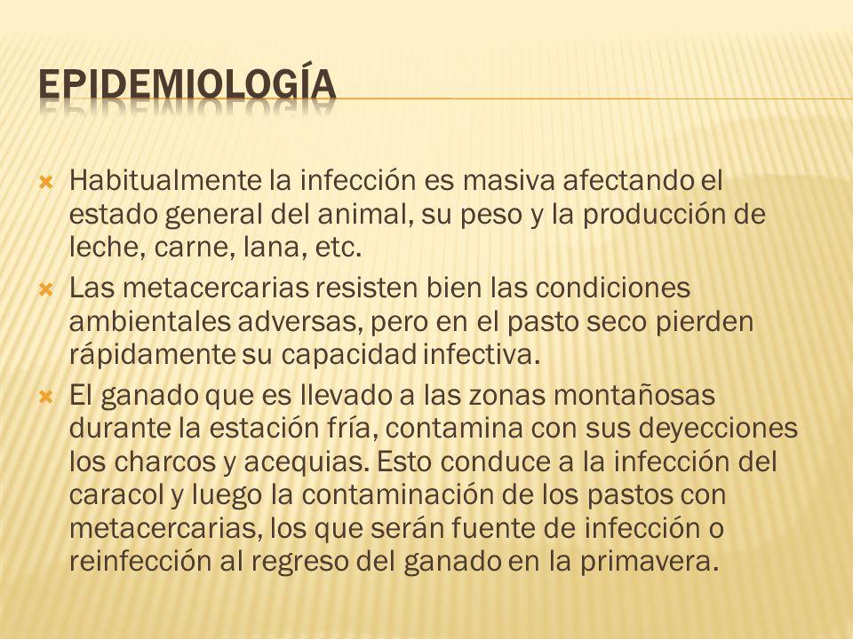 Epidemiología Habitualmente la infección es masiva afectando el estado general del animal, su peso y la producción de leche, carne, lana, etc.