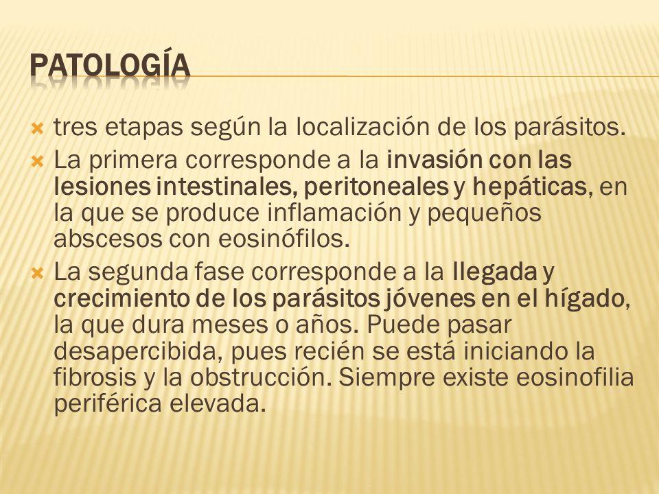 Patología tres etapas según la localización de los parásitos.