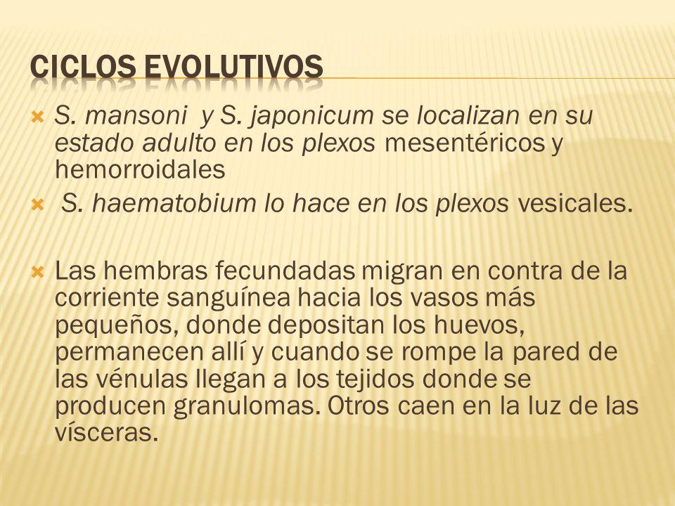 Ciclos evolutivos S. mansoni y S. japonicum se localizan en su estado adulto en los plexos mesentéricos y hemorroidales.