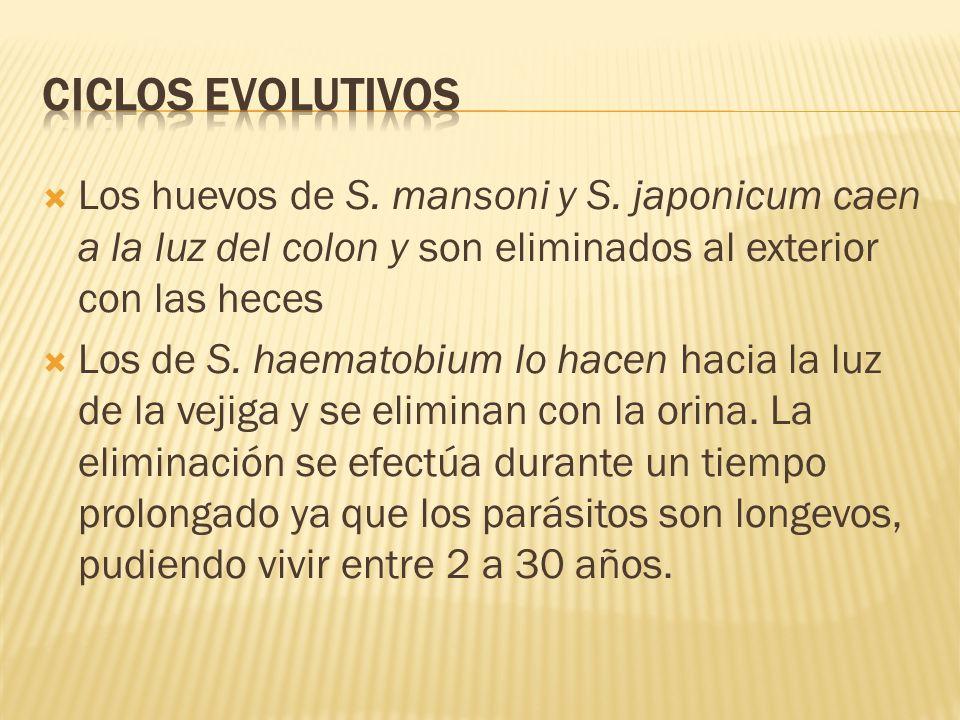 Ciclos evolutivos Los huevos de S. mansoni y S. japonicum caen a la luz del colon y son eliminados al exterior con las heces.
