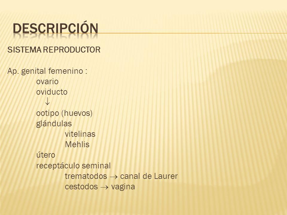 DESCRIPCIÓN SISTEMA REPRODUCTOR Ap. genital femenino : ovario oviducto