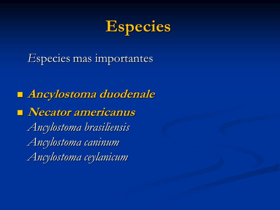 Especies Especies mas importantes Ancylostoma duodenale