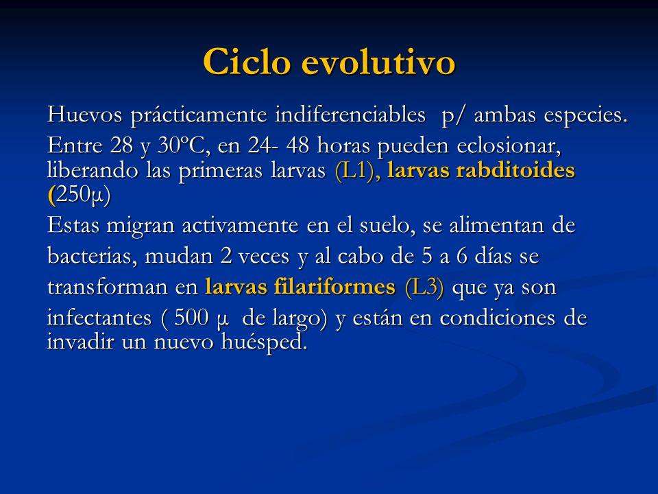 Ciclo evolutivo Huevos prácticamente indiferenciables p/ ambas especies.