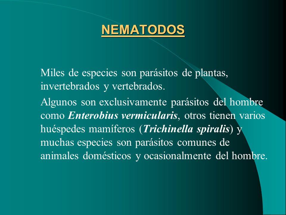 NEMATODOS Miles de especies son parásitos de plantas, invertebrados y vertebrados.