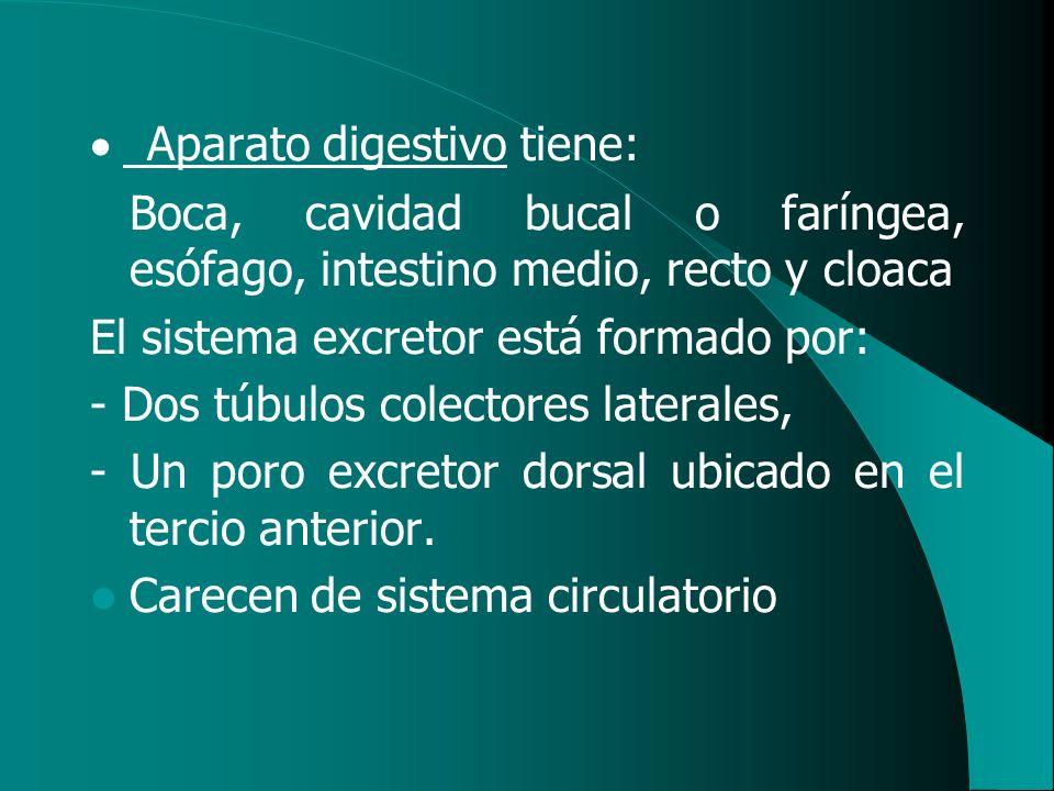 · Aparato digestivo tiene: