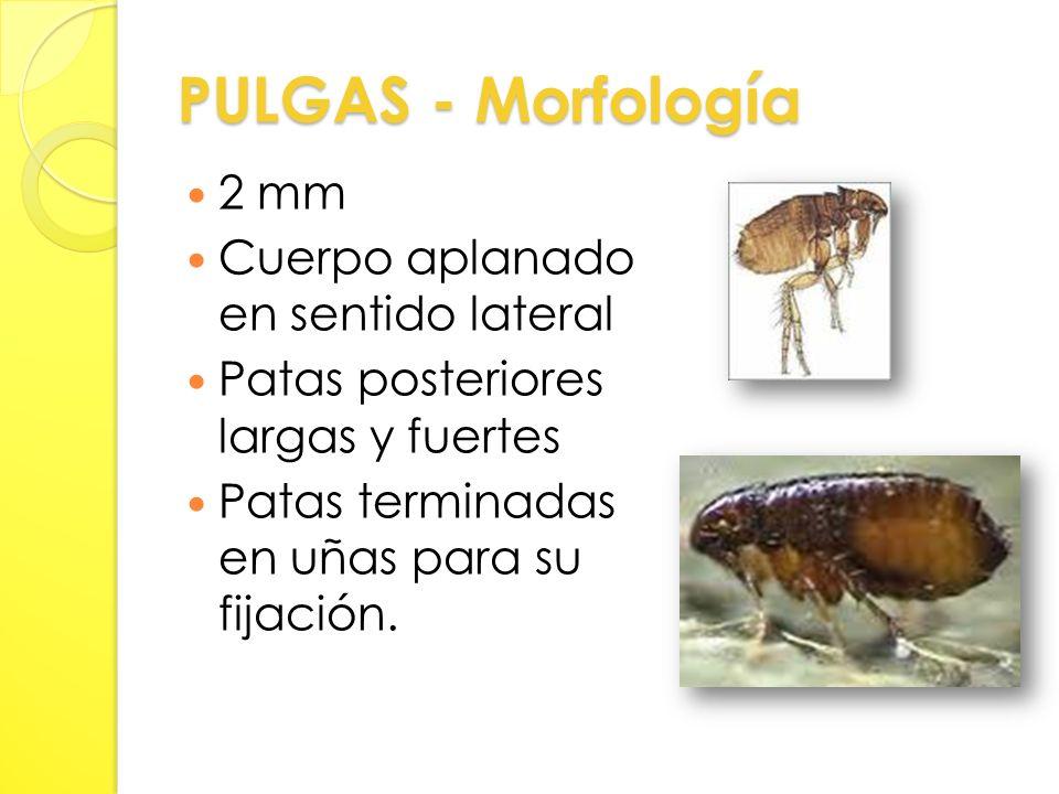 PULGAS - Morfología 2 mm Cuerpo aplanado en sentido lateral