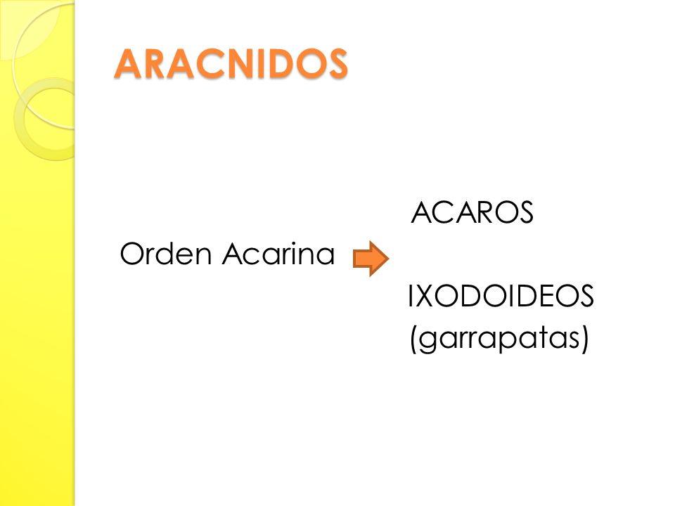 ARACNIDOS ACAROS Orden Acarina IXODOIDEOS (garrapatas)