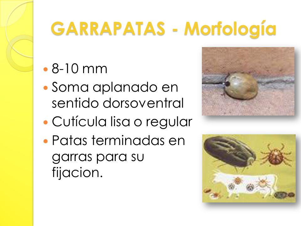 GARRAPATAS - Morfología