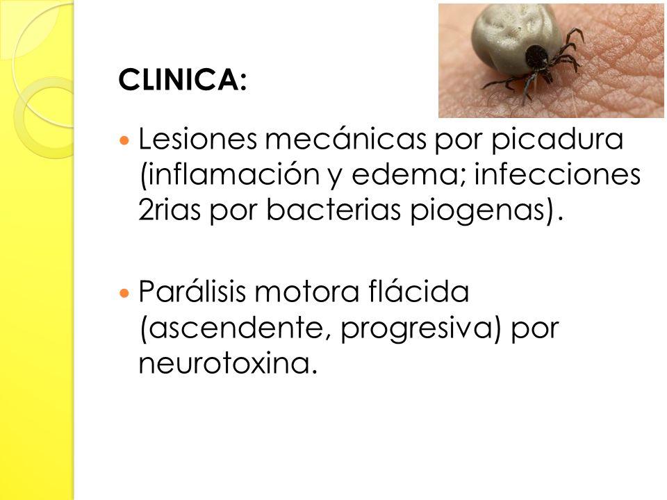 CLINICA: Lesiones mecánicas por picadura (inflamación y edema; infecciones 2rias por bacterias piogenas).