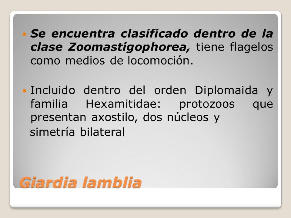 Se encuentra clasificado dentro de la clase Zoomastigophorea, tiene flagelos como medios de locomoción.