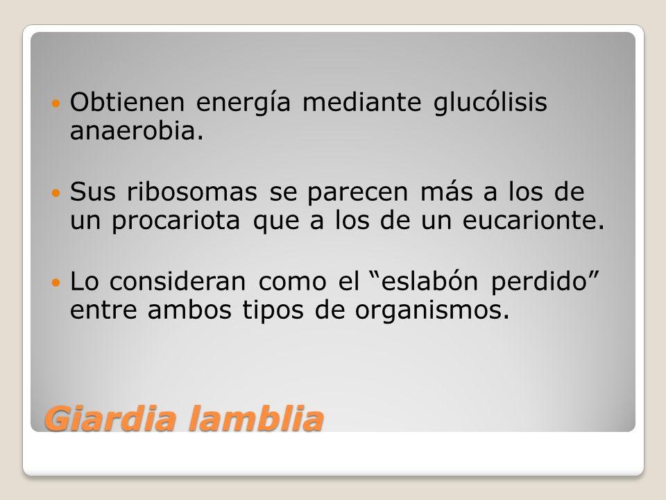 Giardia lamblia Obtienen energía mediante glucólisis anaerobia.