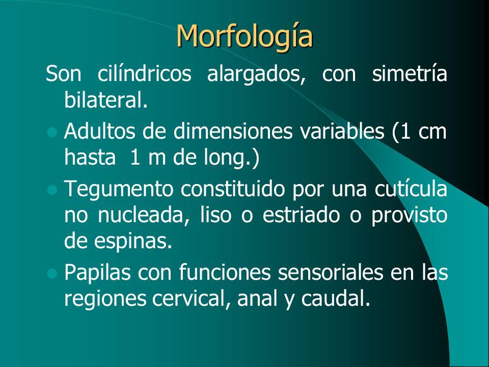 Morfología Son cilíndricos alargados, con simetría bilateral.