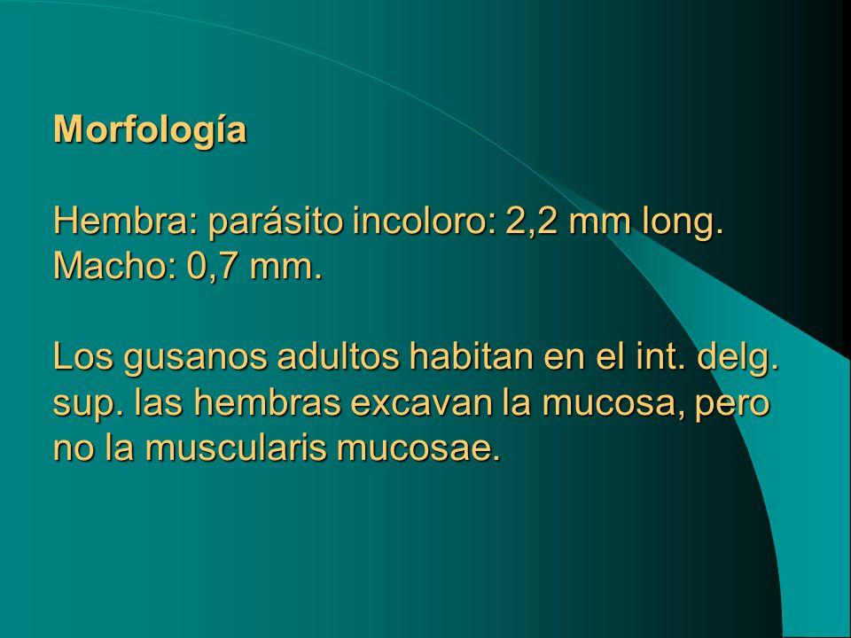 Morfología Hembra: parásito incoloro: 2,2 mm long. Macho: 0,7 mm
