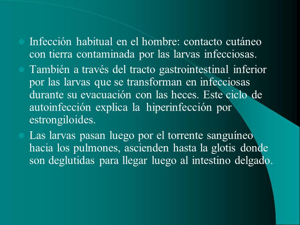 Infección habitual en el hombre: contacto cutáneo con tierra contaminada por las larvas infecciosas.