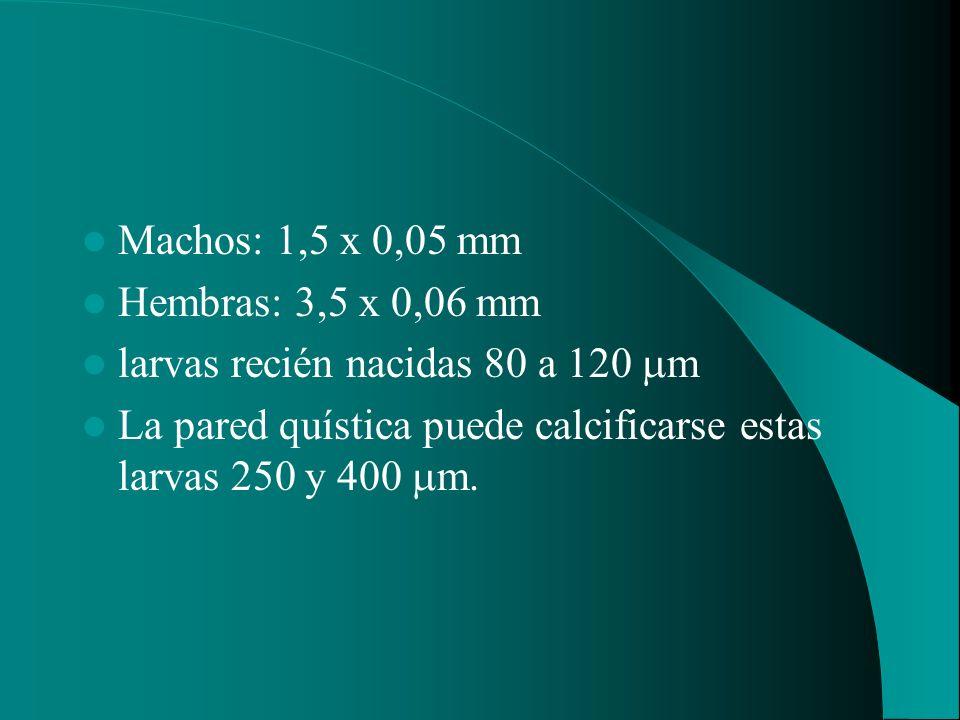 Machos: 1,5 x 0,05 mm Hembras: 3,5 x 0,06 mm. larvas recién nacidas 80 a 120 m.