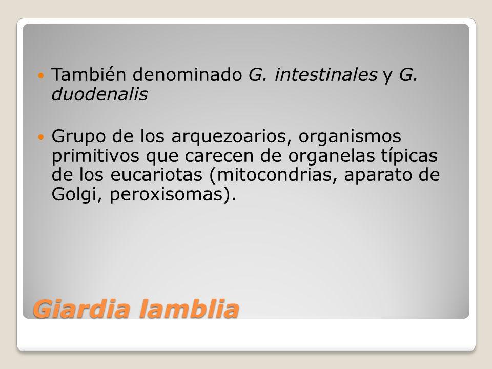 Giardia lamblia También denominado G. intestinales y G. duodenalis