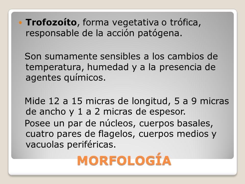 Trofozoíto, forma vegetativa o trófica, responsable de la acción patógena.