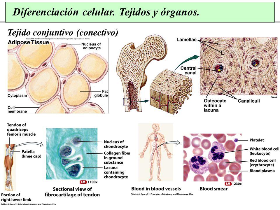Diferenciación celular. Tejidos y órganos.