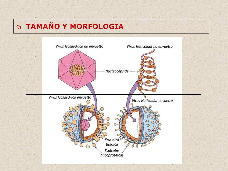  TAMAÑO Y MORFOLOGIA