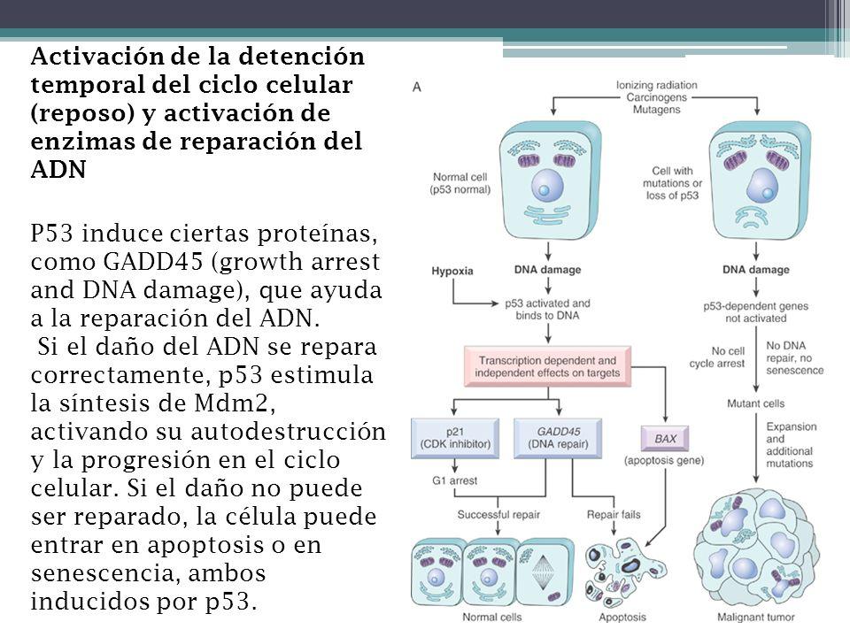 Activación de la detención temporal del ciclo celular (reposo) y activación de enzimas de reparación del ADN