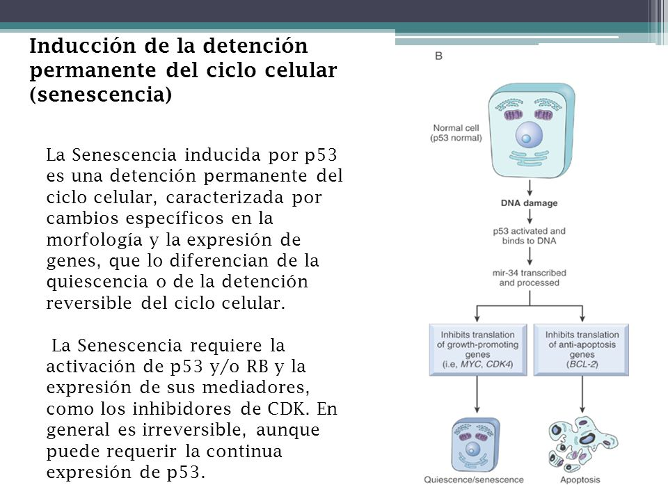 Inducción de la detención permanente del ciclo celular (senescencia)