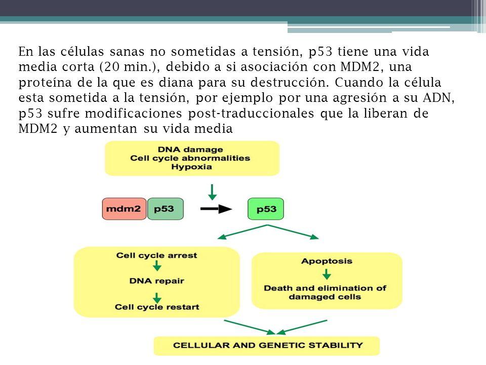 En las células sanas no sometidas a tensión, p53 tiene una vida media corta (20 min.), debido a si asociación con MDM2, una proteína de la que es diana para su destrucción.