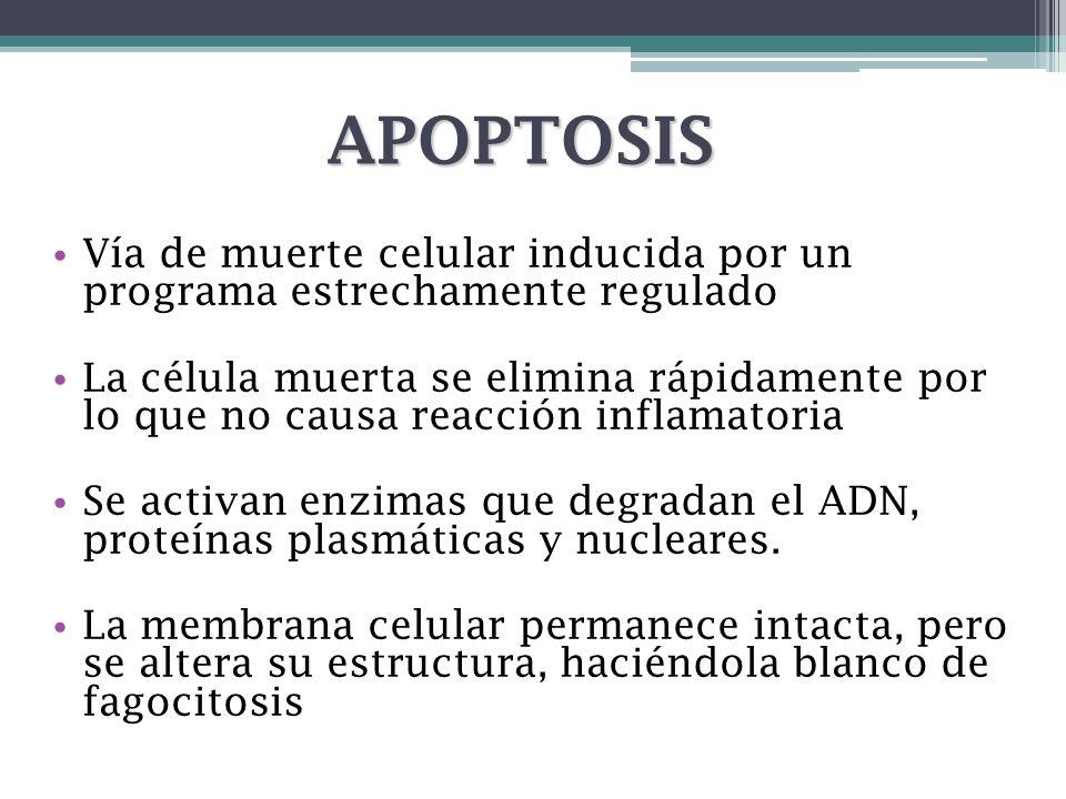 APOPTOSISVía de muerte celular inducida por un programa estrechamente regulado.