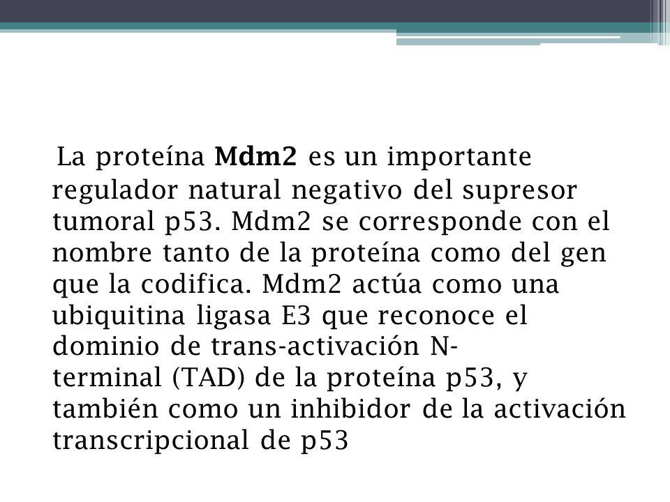 La proteína Mdm2 es un importante regulador natural negativo del supresor tumoral p53.