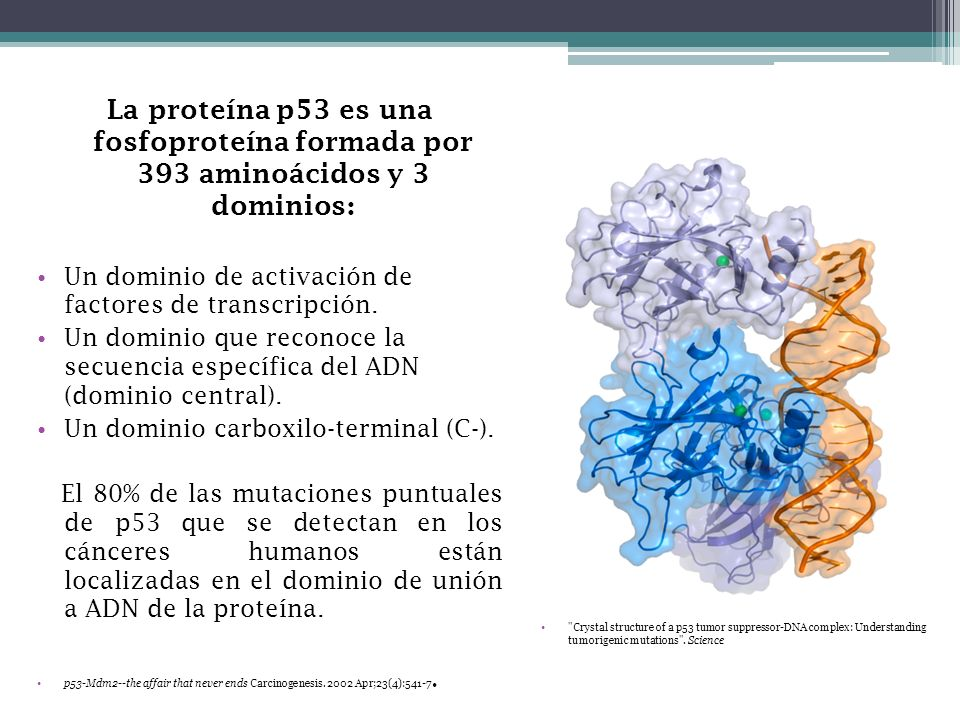 La proteína p53 es una fosfoproteína formada por 393 aminoácidos y 3 dominios: