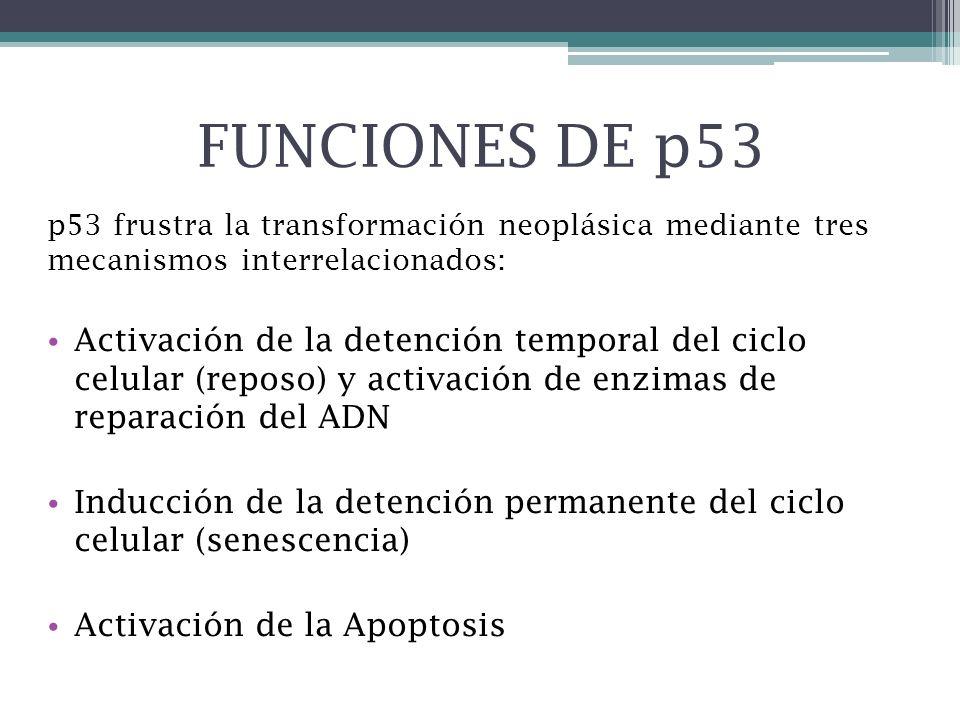 FUNCIONES DE p53p53 frustra la transformación neoplásica mediante tres mecanismos interrelacionados: