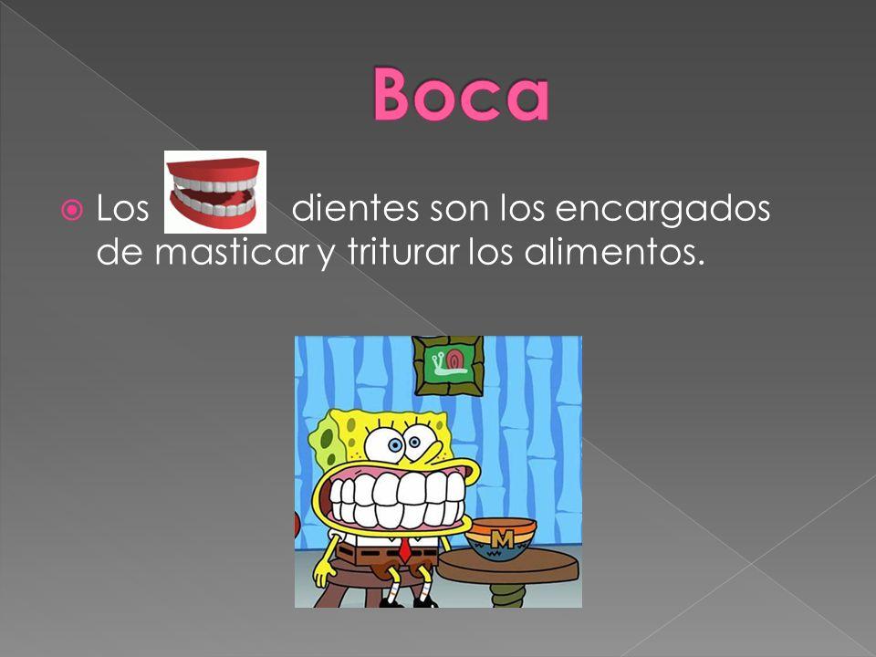 Boca Los dientes son los encargados de masticar y triturar los alimentos.