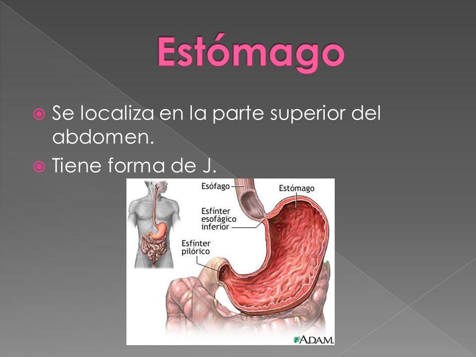 Estómago Se localiza en la parte superior del abdomen.