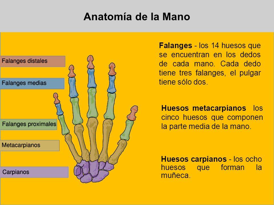 Anatomía de la ManoFalanges - los 14 huesos que se encuentran en los dedos de cada mano. Cada dedo tiene tres falanges, el pulgar tiene sólo dos.