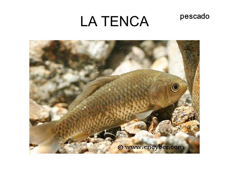 LA TENCA pescado