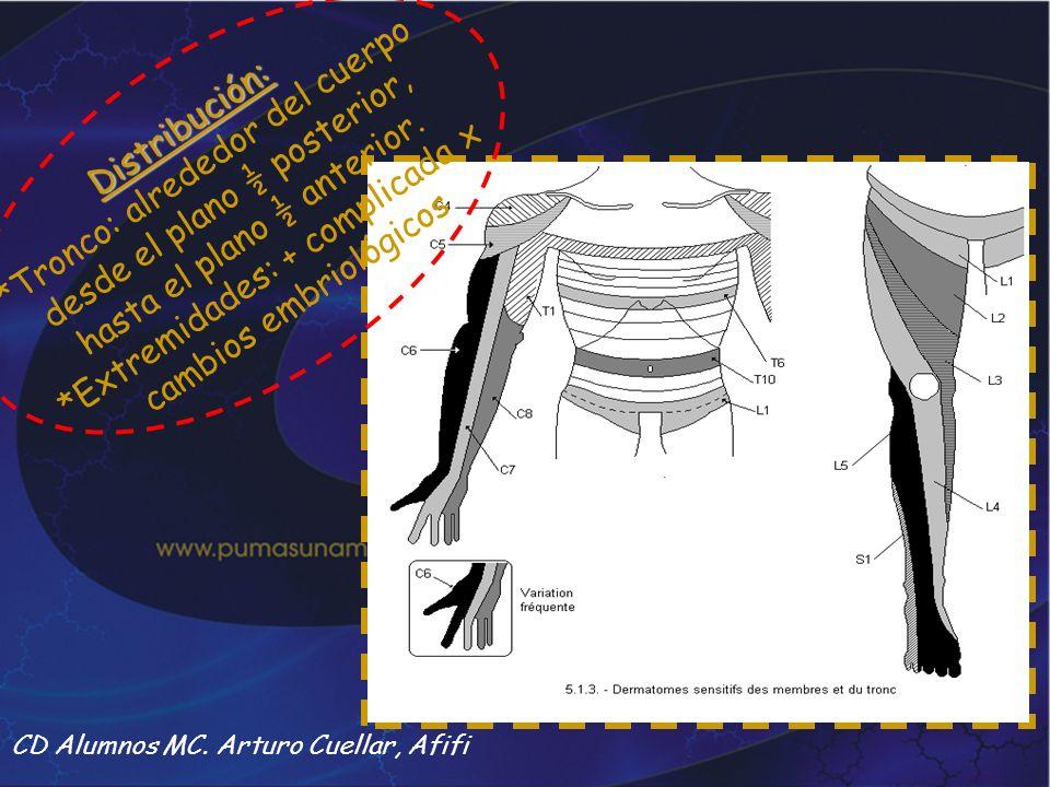 *Tronco: alrededor del cuerpo desde el plano ½ posterior,