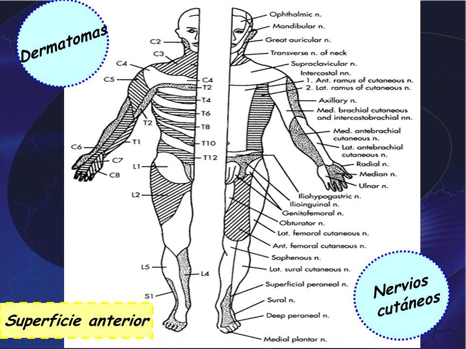 Dermatomas Nervios cutáneos Superficie anterior