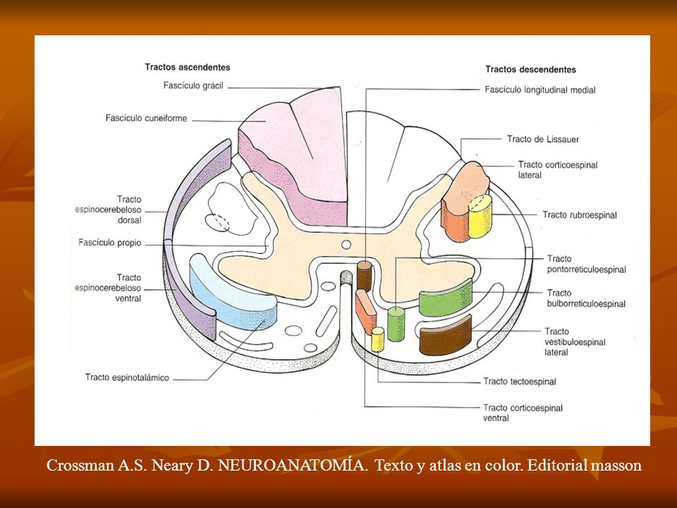Crossman A. S. Neary D. NEUROANATOMÍA. Texto y atlas en color